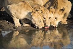 Three Lions (Sue MacCallum-Stewart) Tags: kenya maasaimara lions drinking three nature wildlife
