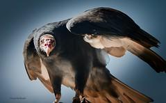 ready to take off (Sakerfalke) Tags: sakerfalkefotografie geier birds greifvogel falconcrest truthahngeier cathartesaura