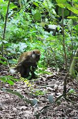 IMG_0398 (trevor.patt) Tags: palauubin singapore macaque monkey