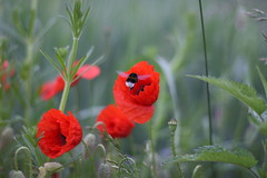living in the meadow (Xtraphoto) Tags: wiese meadow hummel bumbelbee poppy poppies mohn mohnblumen red rot insect insekt blte blten nature natur flower flowers