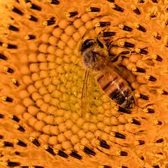 Sunflower with Honey Bee (Jim.Collins) Tags: sunflowers honeybee flower flowers macro nature