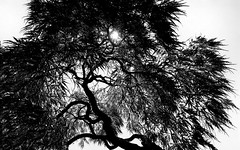 Japanese Maple Silhouette (hpaich) Tags: japanesemaple tree silhouette nature mono monotone monochrome black white deepcut deepcutgardens middletown nj jersey newjersey