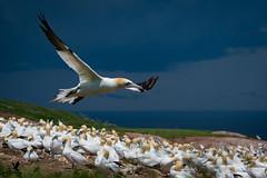 Gannet cleared for take off! (Osprey-Ian) Tags: gannet quebec bonaventureisland perce