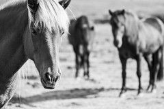 This and more for sale, link below (Dra B.) Tags: dorabirgismyndphotocanonicelanddora birgis horse cute animal lovely photography canon 7d akureyri iceland icelandic dr hestur slenskur sland outdoors outside beauty beautiful pretty nice