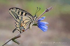 Papilio Machaon - Old World Swallowtail (Linnaeus, 1758) (Bradiponi) Tags: insect insects insetti insetto naturalistica natura naturalistic nature wildlife farfalla farfalle butterfly butterflies sonya7rii sonyfe90mmf28macrogoss flower flowers blue yellow red