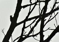 Woodpecker at Brandon Marsh (robmcrorie) Tags: brandon marsh coventry warwickshire wildlife trust sssi nature reserve green woodpecker