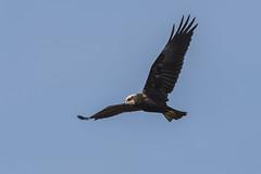 Busard des roseaux (swisscore) Tags: busard roseaux lac ciel bird sky animal oiseau