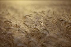 Trigal (L.Barrera) Tags: trigal espigas dorado leobarrera campo cosecha verano andaluca andalusia spain espaa contraluz agricultura serenidad bokeh plantacin sunset patrnorgnico alimento cultivo cereal