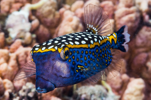 Spotted Boxfish, male - Ostracion meleagris