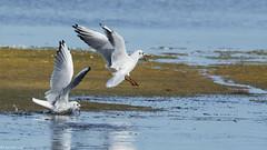 Querelle entre mouettes rieuses (Laurette.C) Tags: mouette duo lilleaudesniges querelledemouettes oiseau chroicocephalusridibundus nikond7000 nikon300mmf4