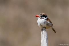 joão-bobo (Nystalus chacuru) (Ana Carla AZ) Tags: lidice joãobobo picidae piciformes lugares rj nystaluschacuru sertao aves birds picapaus