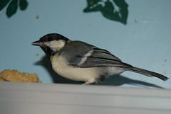 DSC05202 (GotikAngel) Tags: bird oiseau msange gustave