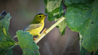 Wilson's Warbler by Jackie B. Elmore 9-25-2016 Jefferson Co. KY