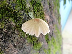 Ilha Grande 01 2016 DSC01593 (Luciano Felipe) Tags: fungo cogumelo fungus mushroom