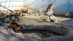 Tigres (Eduardo RA) Tags: cat la tiger gato felino zacatecas tigre encantada zoologico
