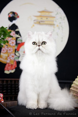 Les Persans de Fannie (Les Persans De Fannie) Tags: cats pets cat lune persian chats kitten chat chinchilla animaux fannie japonais chaton asiatique chatons persan japonaise