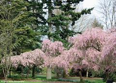 Weeping Cherry (gerry.bates) Tags: park pink flowers trees canon garden cherry botanical flora blossoms cherryblossoms ornamentalcherry weepingcherry vandusenbotanicalgarden prunuspendula higancherry vancouvercherryblossomfestival