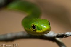 Rough Green Snake (Opheodrys aestivus) (Pierson Hill) Tags: green florida snake rough opheodrys greensnake grasssnake gardensnake aestivus roughgreensnake