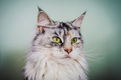Ziva the Maine Coon (Nicholas Erwin) Tags: light portrait pet cats window colors animals nikon feline shot natural vibrant candid maine posed boom coon nikkor domesticated ziva fav10 175528 twtmeiconoftheday d7000