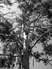 bw tree eucalyptus
