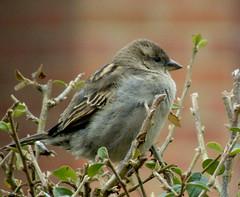 Sparrow1 (Pythagoras98) Tags: bird birds wing sparrow hedge