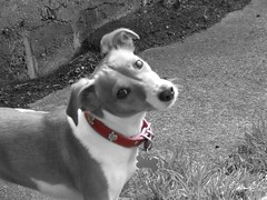 Holly (Kearneyjimbo) Tags: red bw dog pet holly jackrussell collar bestfriend caine