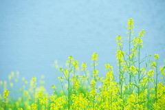 Swaying in the Wind (*Sakura*) Tags: blue 2 flower green nature yellow japan tokyo spring  mustard sakura    rapeblossoms