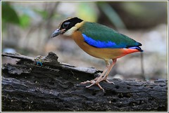 IMG_3826 Blue-winged Pitta @ PRP (Ericbronson's Photography) Tags: bird nature interesting singapore wildlife pitta bluewinged ericbronson vigilantphotographersunite vpu2 vpu3 vpu4 vpu5 vpu6