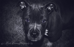 (Krista Cordova Photography) Tags: blue cute puppy grey blueeyes gray pit pitbull greyeyes grayeyes americanpitbullterrier bluepit bluepitbull pitbullpuppy bluepitbullpuppy bluepitpuppy