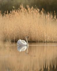 Swan in sunset light (hairyduck) Tags: reeds swan woodwaltonfen greatfenproject