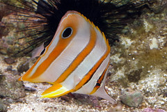 Copper banded butterfly fish (Chelmon rostratus) (shadowshador) Tags: ocean life sea fish water butterfly wildlife copper tropical ichthyology reef biology animalia reefs scientific banded taxonomy classification chordata bilateria deuterostomia craniata vertebrata gnathostomata osteichthyes rostratus actinopterygii neopterygii teleostei eukaryota chelmon chaetodontidae perciformes eumetazoa acanthopterygii percoidei opisthokonta percoidea neomura holozoa filozoa