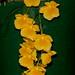 Dendrobium lindleyi – Pearl Crosier