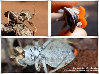 Percevejo de Crista -  Arilus carinatus (Reduviidae, Harpactorinae, Harpactorini)