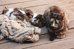 ~~ finally ~ (Monika Strataki) Tags: new our by garden kitten afternoon with feeding sunny blanket monika rest after their photographed having strataki