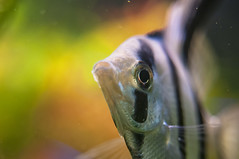 angelfish (Another_Outsider) Tags: closeup aquarium nikon angelfish d300 pterophyllumaltum