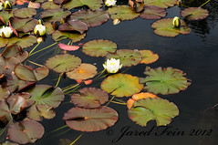Water Lillies in Bloom (SewerDoc (200 Explores)) Tags: flowers ireland plant pond lilly lillies waterlillies ulster mournemountains countydown silentvalley bollm naturesharmony