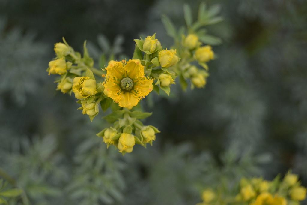 Planta medicinal ruda yahoo dating