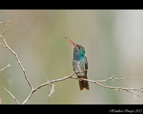 Singing Honduran Emerald