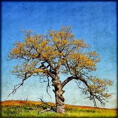 their songs never cease (1crzqbn) Tags: sunlight color tree nature square landscape oak shadows textures 7d hypothetical tistheseason hss artdigital trolled memoriesbook awardtree daarklands magicunicornverybest magicunicornmasterpiece 1crzqbn sliderssunday netartii theirsongsnevercease catherinecreekcolumbiagorgeor