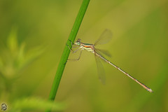 Lestes barbarus (R_Co) Tags: dragonfly coenagrionidae southernemeralddamselfly migrantspreadwing