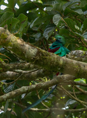 untitled-8488 (stoupaduck) Tags: costarica monteverde quetzal