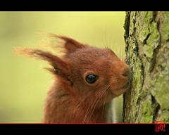 Photo d'identité avec boucle d'oreille (mamnic47 - Over 7 millions views.Thks!) Tags: sceaux écureuil faune parcdesceaux hautsdeseine img5651