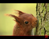 Photo d'identité avec boucle d'oreille (mamnic47 - Over 8 millions views.Thks!) Tags: sceaux écureuil faune parcdesceaux hautsdeseine img5651