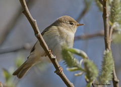 Willow Warbler (Frank Gardiner) Tags: warblers willowwarbler phylloscopustrochilus britishbirds