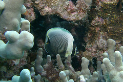 shyness (BarryFackler) Tags: ocean life sea fish nature water ecology animal coral fauna island hawaii polynesia bay marine underwater pacific being dive diving sealife pacificocean tropical marinebiology diver bigisland aquatic reef creature biology undersea kona ecosystem coralreef marinelife vertebrate zoology seacreature butterflyfish marineecology organism honaunau konacoast hawaiicounty southkona hawaiiisland honaunaubay marineecosystem westhawaii konadiving bigislanddiving hawaiidiving sealifecamera reticulatedbutterflyfish barryfackler barronfackler chaetodonreticulatus creticulatus