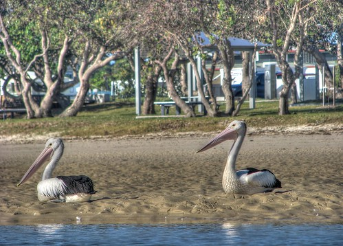 pelicans soaking up the rays
