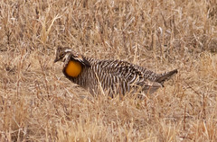 Greater Prairie Chicken (TheRainbird) Tags: minnesota display lek greaterprairiechicken tympanuchuscupido