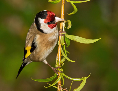 Goldfinch, on Weeping Willow