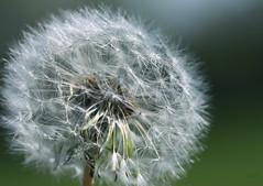 Dandelion (vmax4coco) Tags: plant macro nature lens weed dandelion seeds canonmacro100mm