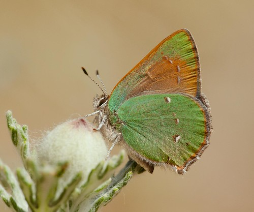 Lotus Hairstreak (Callophrys perplexa)